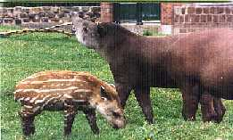 Londo-G'Kar Tapir